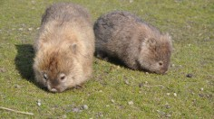 How Wombats Use their Bums