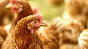 Belgium Announces Bird Flu Outbreak and Measures to Contain it