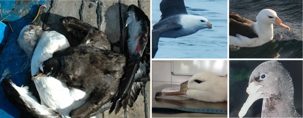 Albatross and Petrels: Intentionally Killed and Mutilated by Fishermen in Southwestern Atlantic