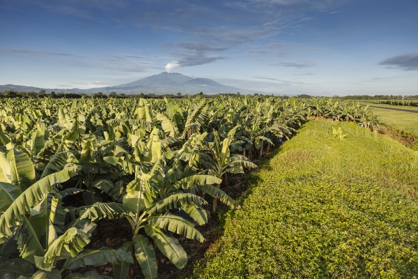 Chlordecone Poisoned and Enslaved Caribbean Martinique and Guadaloupe Banana Plantation Workers