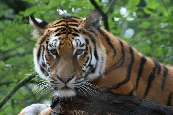 Saving Siberian Tigers through Vaccination