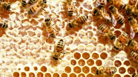 Pyrethroid Pesticide Deadly to Honeybees Now Detectable in Honey
