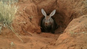 Climate Change Drives Aardvarks Out in Starvation
