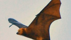 The Culling of an Endangered Fruit Bat in Mauritius