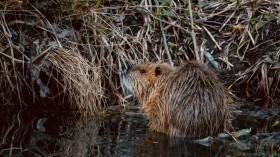 Beavers Build First Exmoor Dam in 400 Years