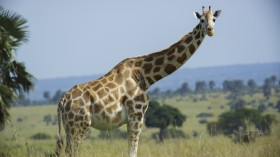 Kenya: A Daring Rescue to Save Giraffes from a Shrinking Island