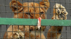 Big Cat Safety Act: Protection of Big Cats in the US Gets Congress Approval