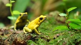 The Golden Poison Frog (Phyllobates terribilis)