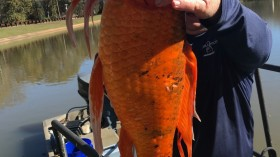 'Is this Yours?': Owner of Supersize 9-Pound Goldfish Remains Unknown