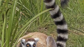 Pandemic lockdown casualties: Madagascar's Endangered Lemurs