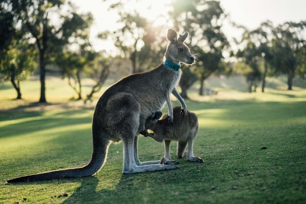 Study Found Kangaroos Learn to Ask Help from Humans Like Dogs and Horses