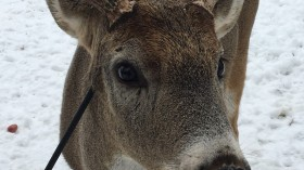 Miracle: Deer Named Carrot Survives Arrow Shot Through the Head
