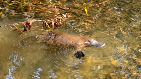 Platypus Whisperer from Tasmania Surprises Experts with Citizen Science