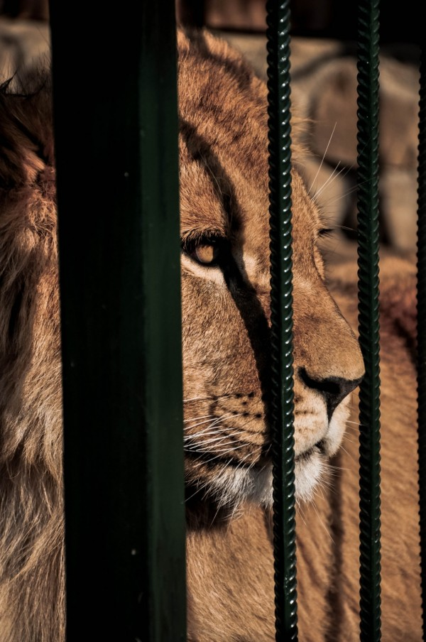 Lion in Captivity