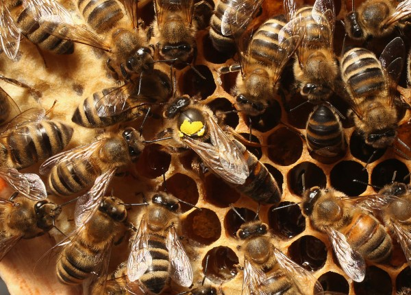 Queen Bee Produces Own Sperm, So There's No Need for 'King Bee'