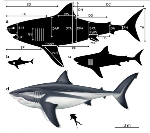 Shark comparison