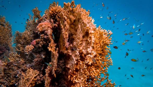 Brown Coral Reef