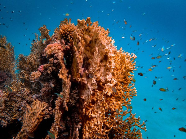 Brown Coral Reef