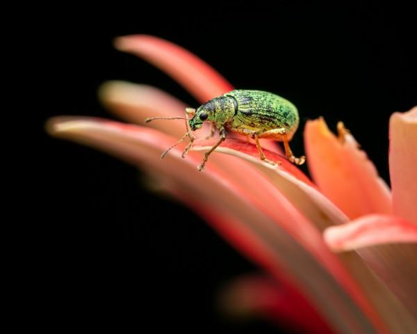 Bug vert