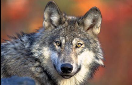 Resting Gray Wolf