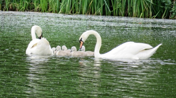 A family of Swan