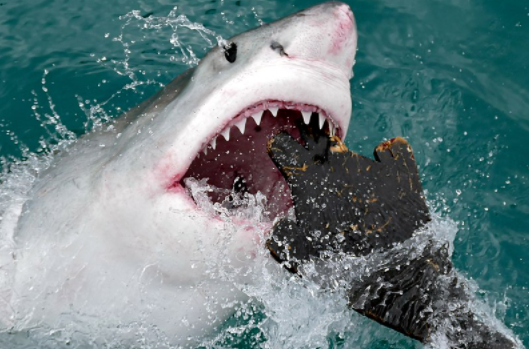Great White Shark (Carcharodon carcharias) attacking a seal shaped decoy