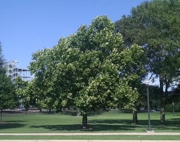 Árbol lunar sicomoro