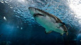 Ocean's Extremely Hot Causing Great White Sharks to Find Other Habitat