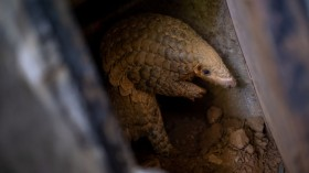 Wildlife Conservationists Save The Pangolins From Illegal Trade In Vietnam