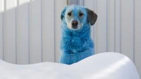 Blue-colored dog in vet clinic in Nizhny Novgorod, Russia