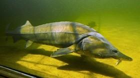 Sturgeon Fish