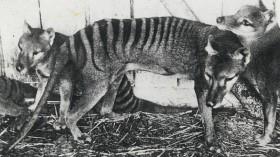 Thylacines (Tasmanian Tigers), at Beaumaris Zoo, Hobart, ca. 1918, State Library of New South Wales