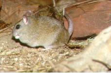CARPENTARIAN ROCK-RAT