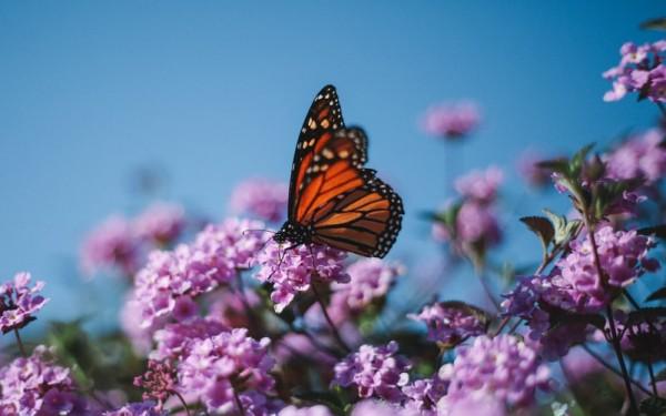 Monarch butterfly sitting on a flower