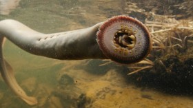 An adult pacific lamprey facing the camera with its sharp teeth clearly visible