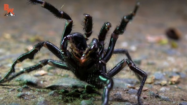 Funnel-Web Spider: Venom of Deadliest Spider in Australia May Help Save Heart Transplant Patients