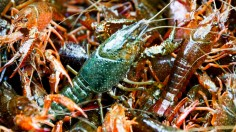 Invasive American Crayfish To Become Berlin Delicacy
