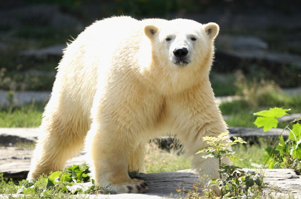 Polar Bears Might Go Extinct by the End of the Century if Arctic Ice Continues to Melt