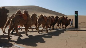 Traffic Light For Camels Debuts In Dunhuang