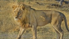 Suspected Poisoning and Dismemberment: Lions Found Dead in Natural Park
