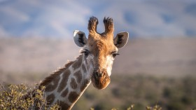 South African Farm Owner Kills and Poses with Giraffe Heart