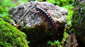 New Species of Huge Amphibious Centipedes Discovered