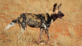 African Wild Dogs can Communicate by Sneezing