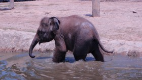 Death Toll of Borneo Pygmy Elephants Rises