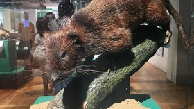 Taxidermied Northern Luzon Giant Cloud Rat