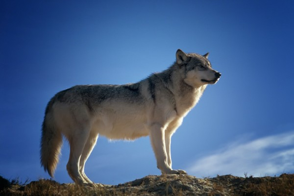 Idaho Lawmakers Push to Kill 90% of the Wolf Population
