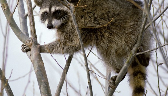 Rabies Vaccines to Scatter Over Cape Cod via Helicopter