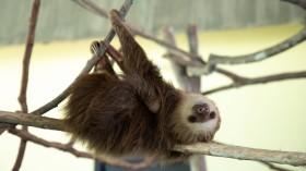 Real life Sloth