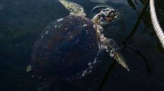 Sea Turtles Are Seen in the Guanabara Bay Amidst the Coronavirus (COVID - 19) Pandemic