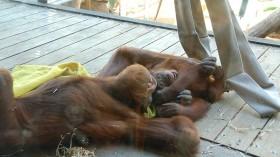 Playing Orangutans